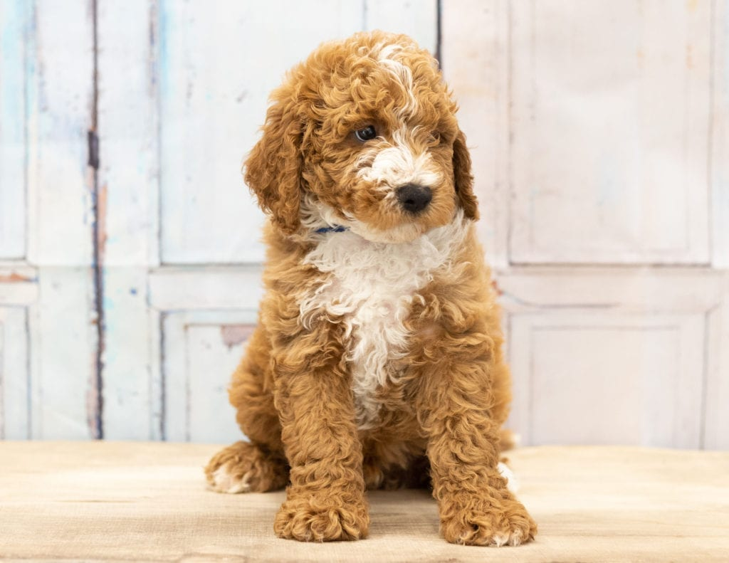 Another parti Mini Goldendoodle