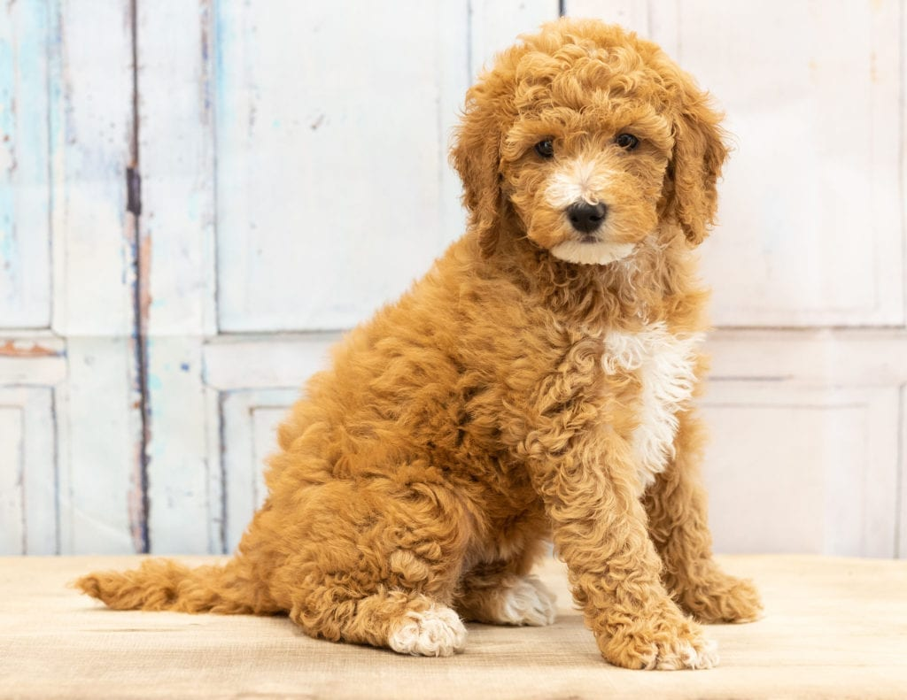 Vera is a Mini Goldendoodle puppy with an adorable golden coat with a white parti chest