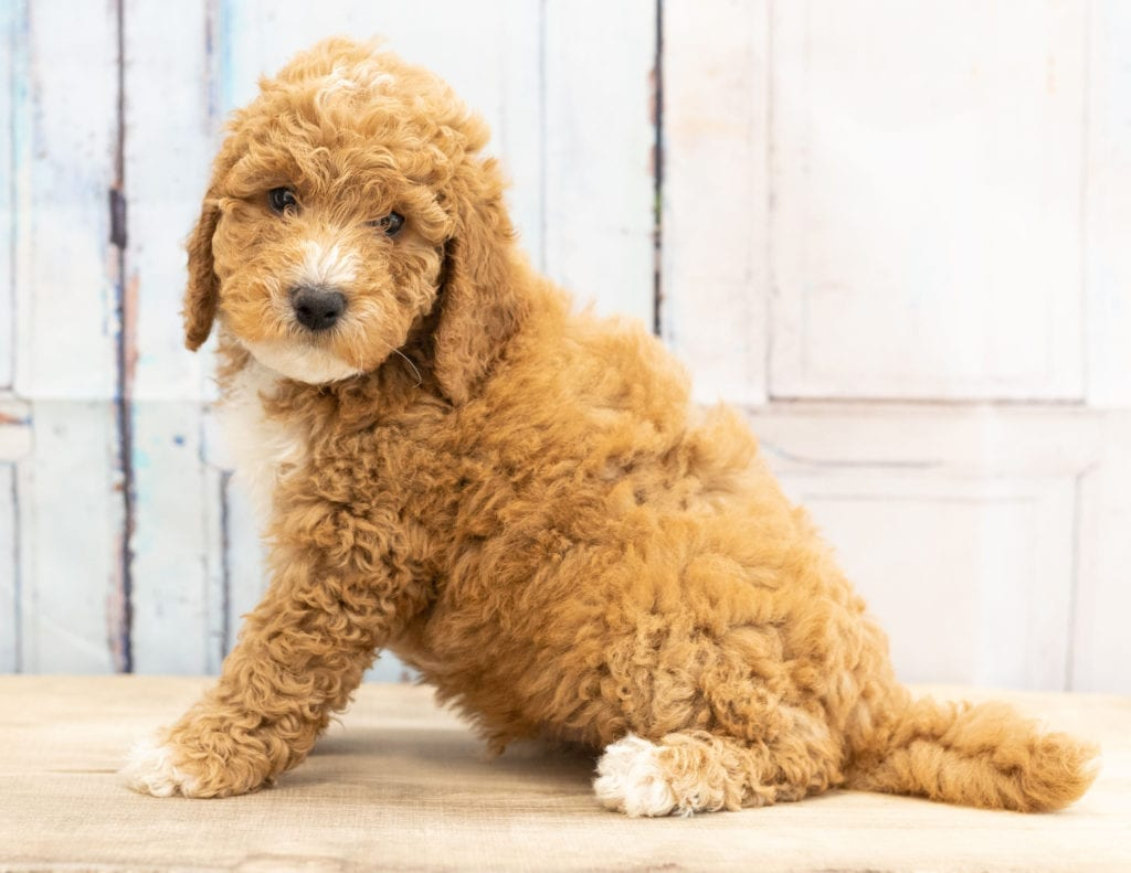Vex, a Mini Goldendoodle pup from last year's litter