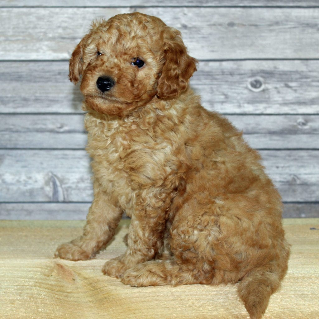 Yoyo came from Scarlett and Murphy's litter of F2B Irish Doodles