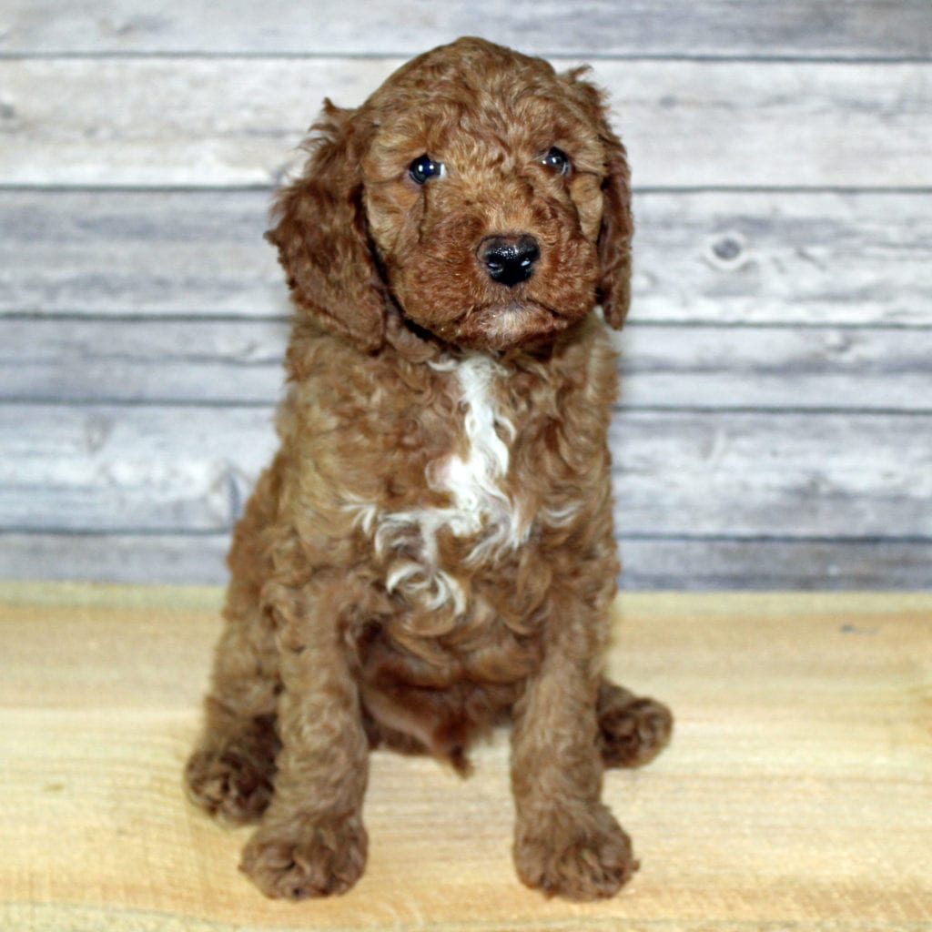 A picture of a Yoshi, one of Shelby's Goldendoodles's Petite Irish Doodles