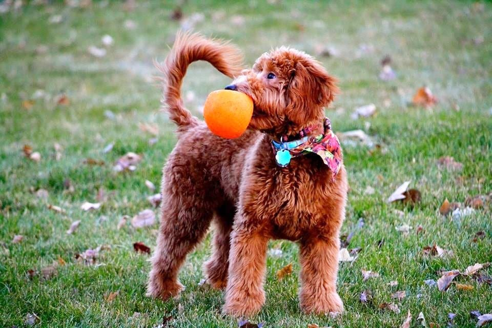 One of Shelby's Goldendoodles puppy holding an orange ball in its mouth