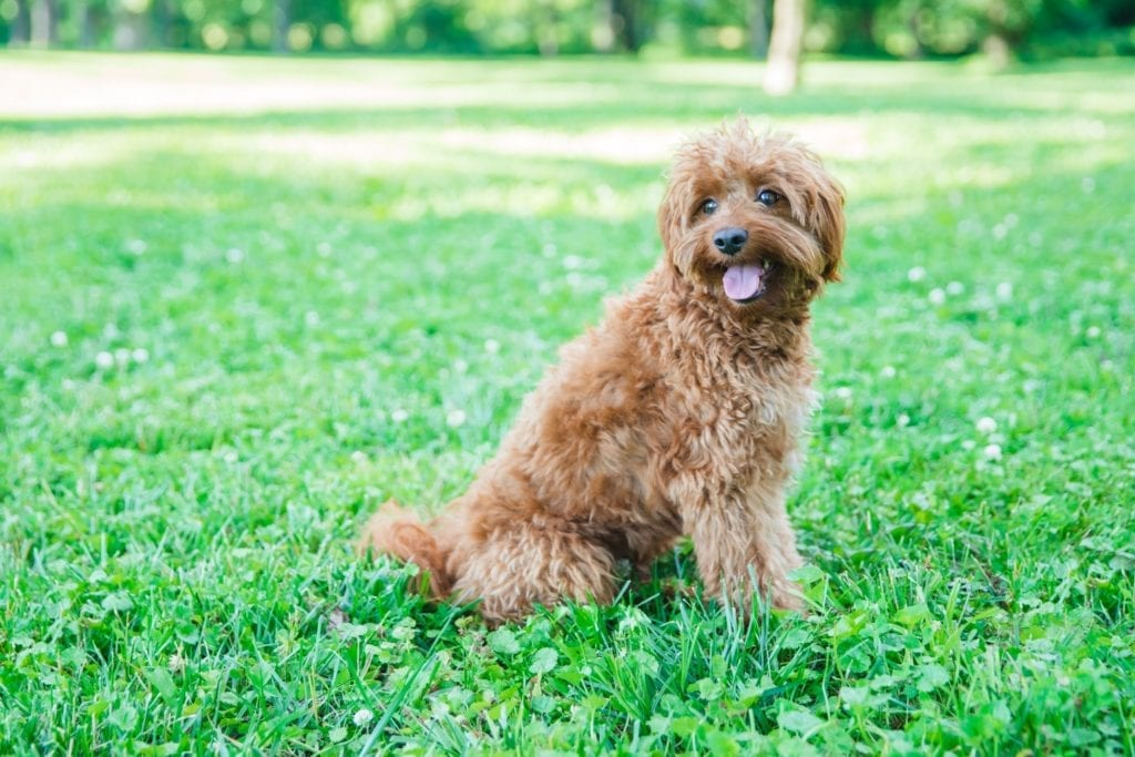 Scarlett is an F1B Goldendoodle and a mother here at Shelby's Goldendoodles