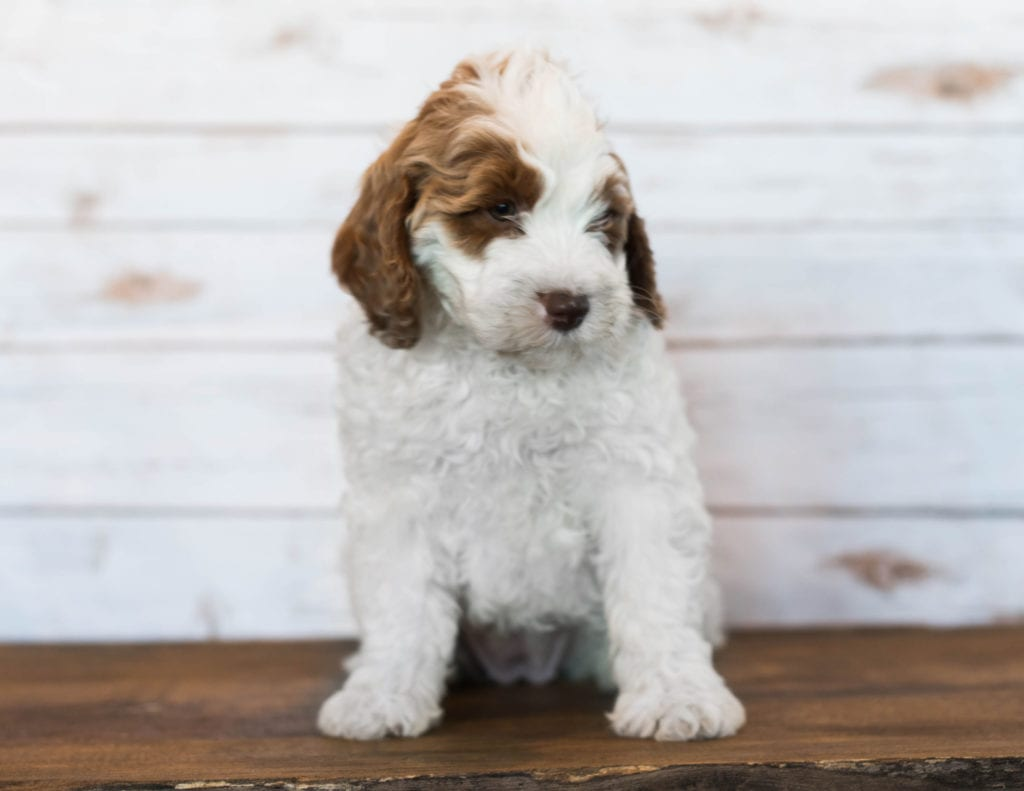 A picture of a Isabel, one of Shelby's Goldendoodles's Mini Goldendoodles
