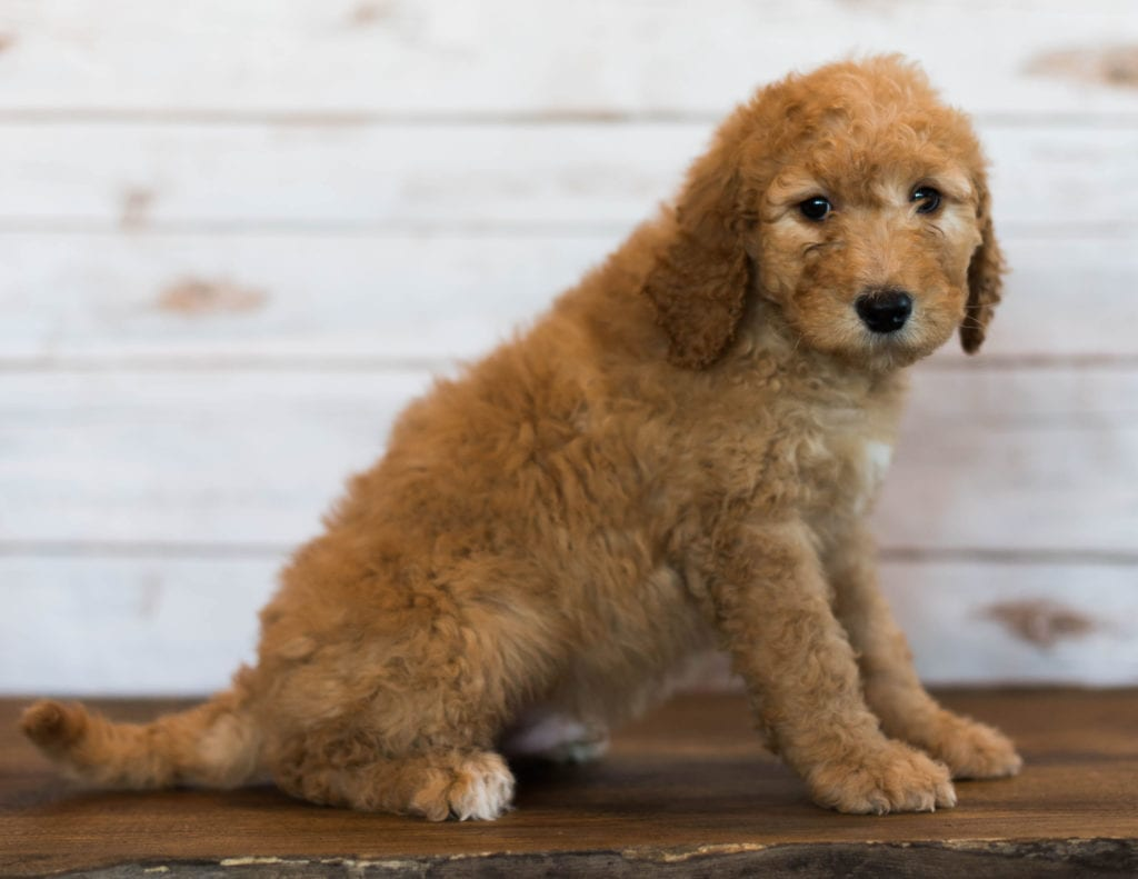 Hanson is an F1B Goldendoodle that should have