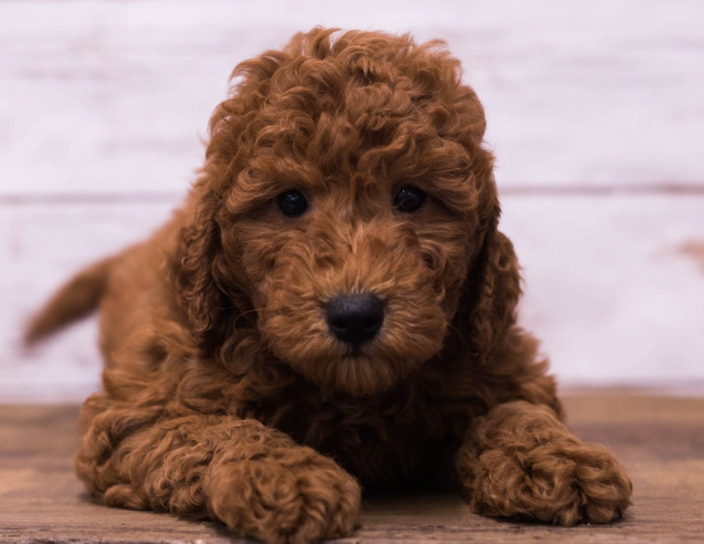 F1B Petite Goldendoodles with the common characteristics of Goldendoodles