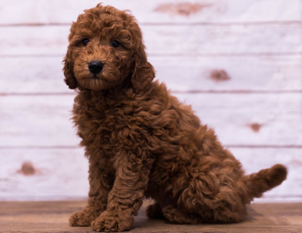 Gerry is an F1B Goldendoodle that should have  and is currently living in Minneapolis