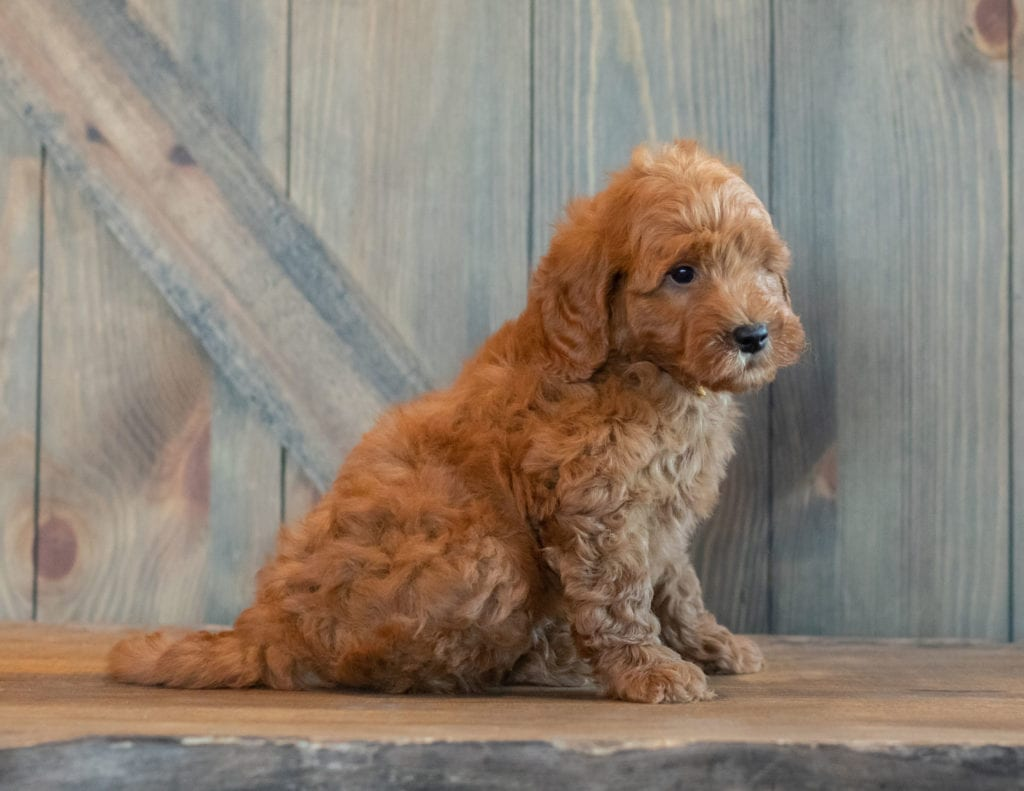 Goose is an F1B Goldendoodle that should have  and is currently living in Michigan