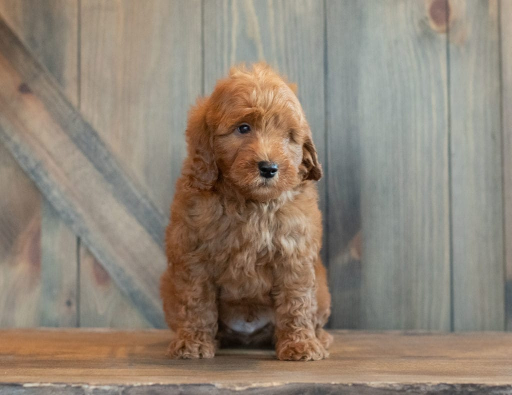 A picture of a Goose, one of Shelby's Goldendoodles's Petite Goldendoodles that went to their home in Michigan
