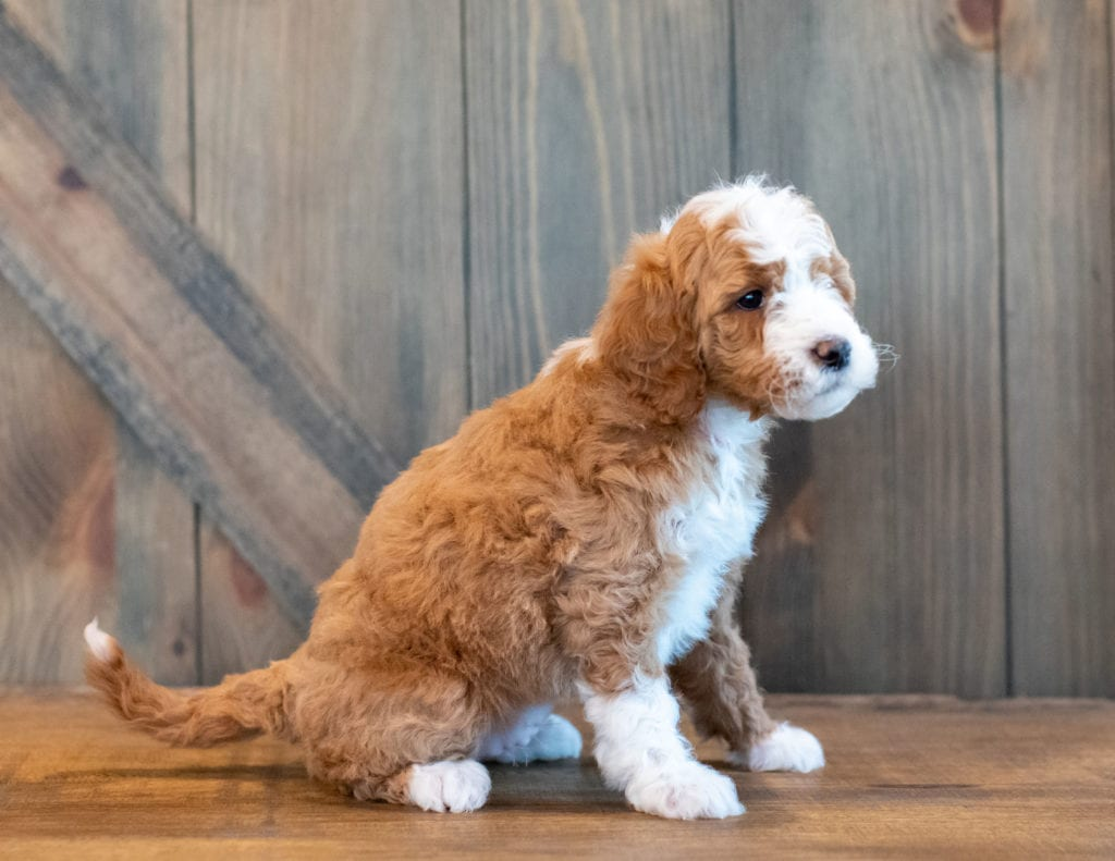 Hilton came from Kimber and Scout's litter of F1B Goldendoodles