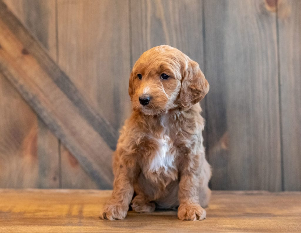 A picture of a Honey, one of Shelby's Goldendoodles's Mini Goldendoodles that went to their home in Iowa