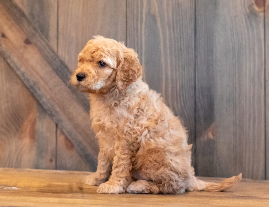 Hutch came from Kimber and Scout's litter of F1B Goldendoodles