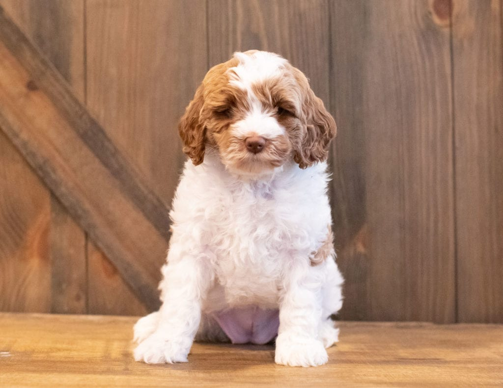A picture of a Ilene, one of Shelby's Goldendoodles's Mini Goldendoodles that went to their home in South Dakota