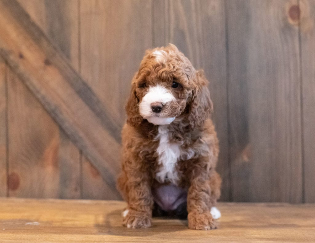 A picture of a Irene, one of Shelby's Goldendoodles's Mini Goldendoodles that went to their home in Minnesota