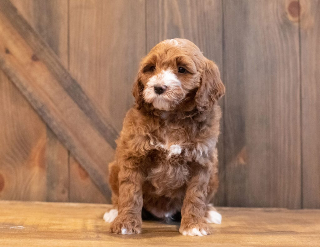 A picture of a Ivan, one of Shelby's Goldendoodles's Mini Goldendoodles that went to their home in California