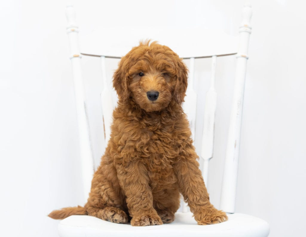 A picture of a Gimmy, one of Shelby's Goldendoodles's Petite Goldendoodles