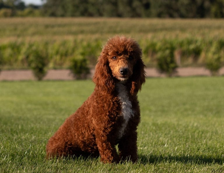 Rugar is an  Poodle and a father here at Shelby's Goldendoodles