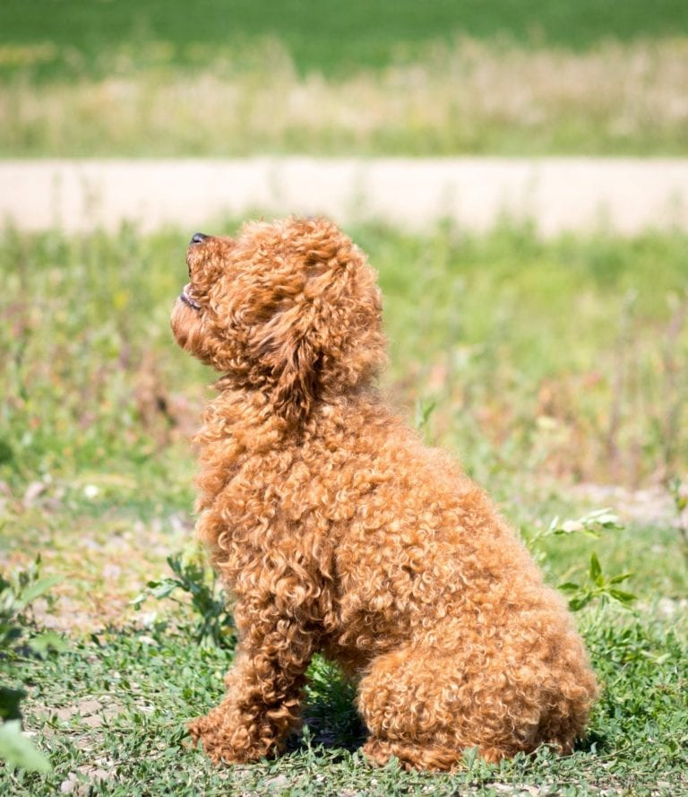 Reggie is an  Poodle and a father here at Shelby's Goldendoodles