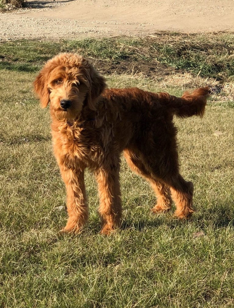 Berkeley is an F1 Goldendoodle and a mother here at Shelby's Goldendoodles
