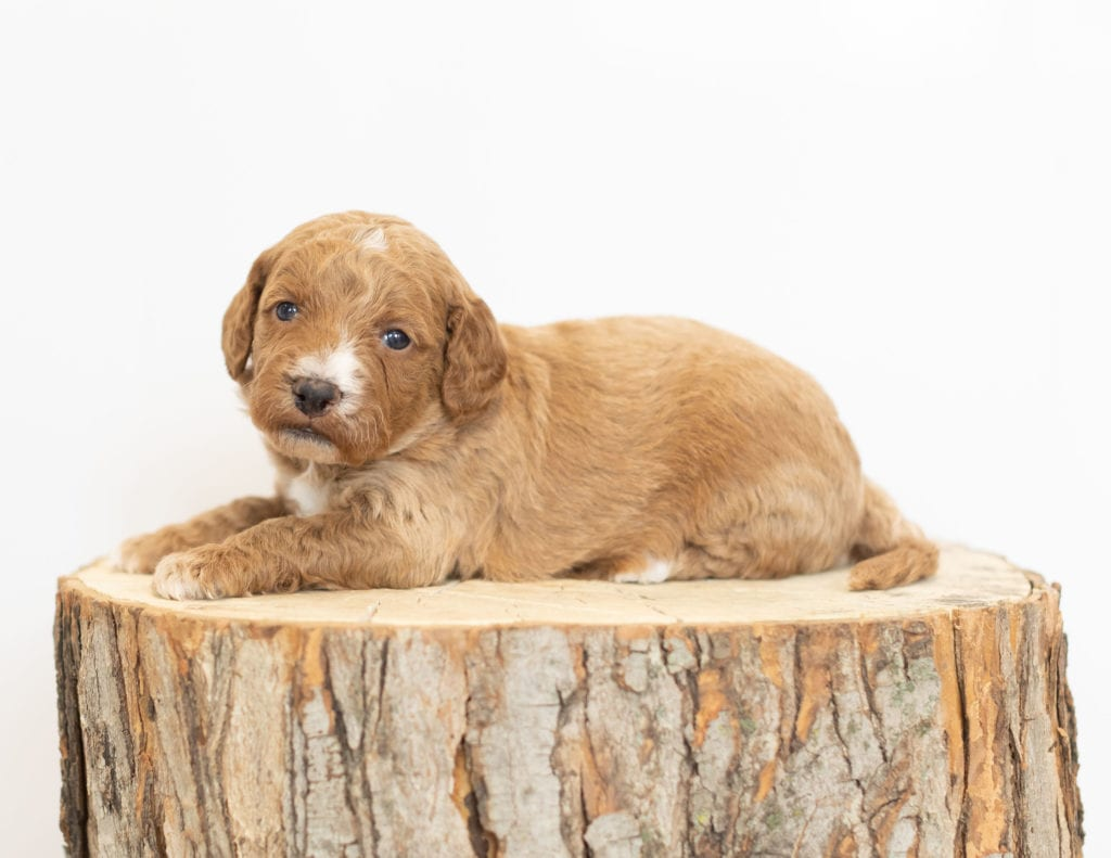 Major is an F1B Goldendoodle that should have
