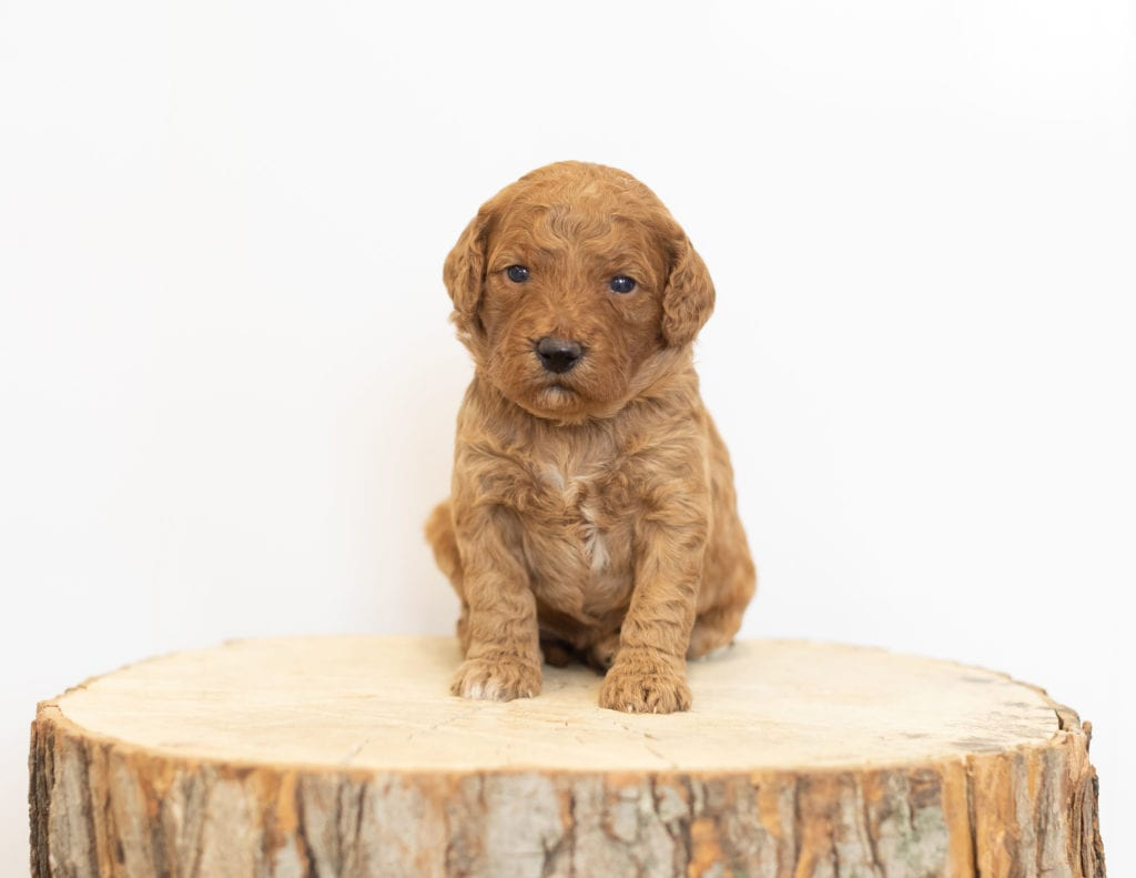 F1B Mini Goldendoodles with the common characteristics of Goldendoodles