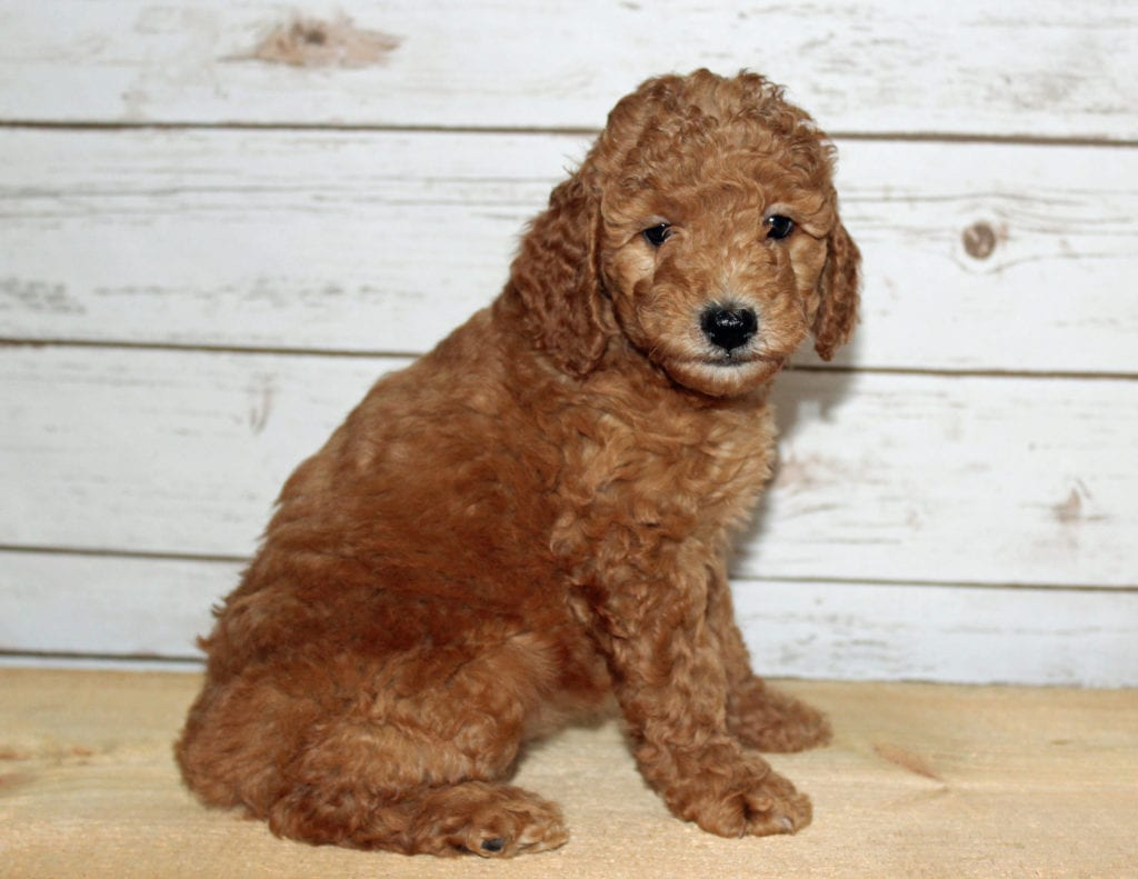 A litter of Mini F2B Goldendoodles available