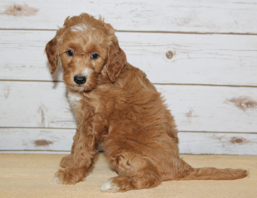 Xia is an F2B Goldendoodle that should have  and is currently living in Minnesota