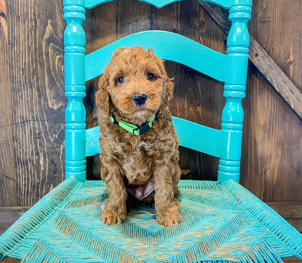 Goldendoodles bred by Shelby's Goldendoodles
