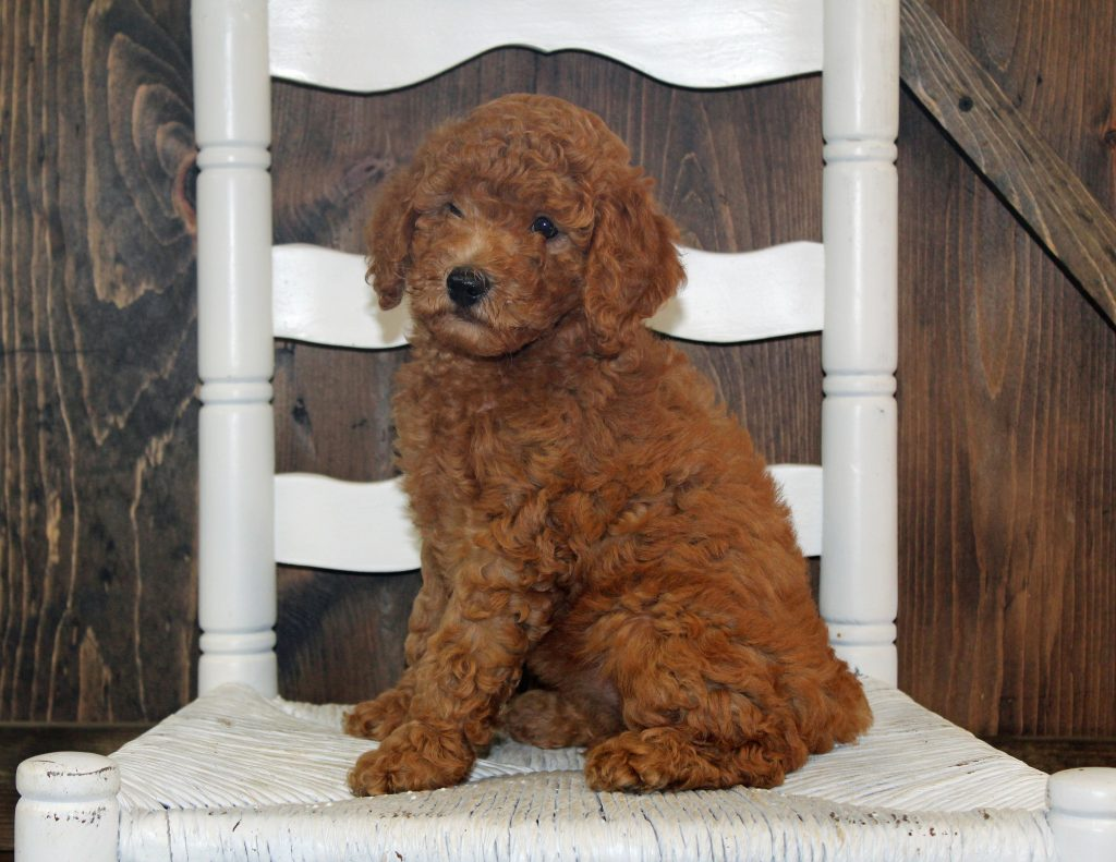 A picture of a Ava, one of Shelby's Goldendoodles's Mini Goldendoodles