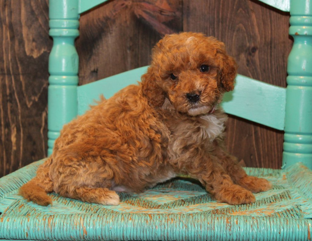 Edward is an F1B Goldendoodle that should have