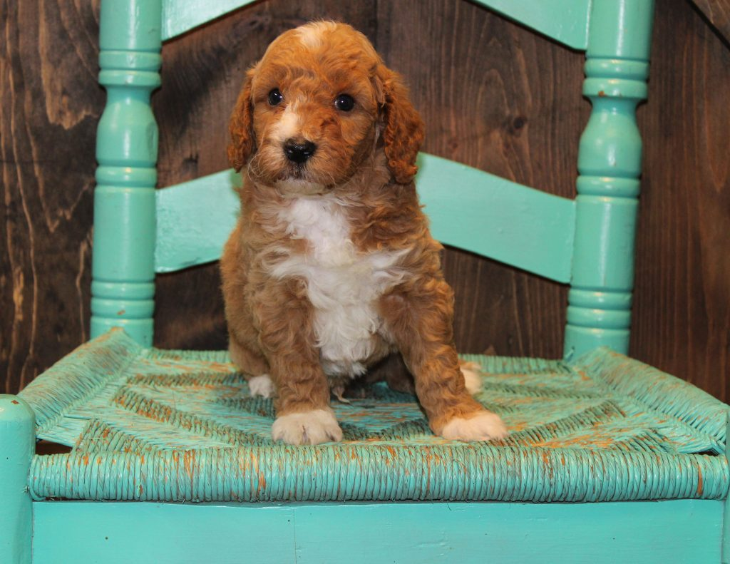 Elvis came from Penny and Rugar's litter of F1B Goldendoodles