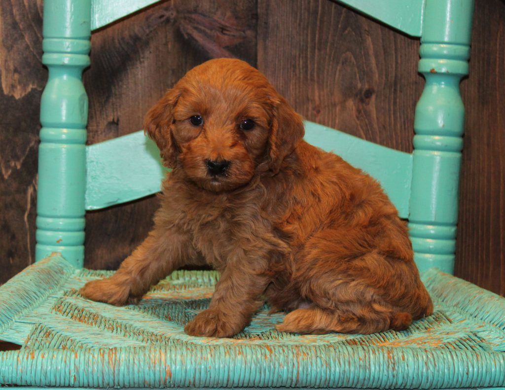 A picture of a Emmet, one of Shelby's Goldendoodles's Mini Goldendoodles