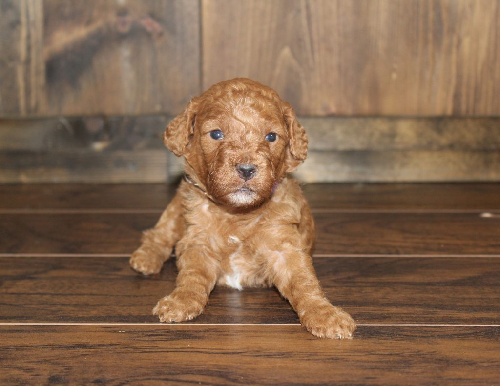 F1 Mini Goldendoodles with the common characteristics of Goldendoodles