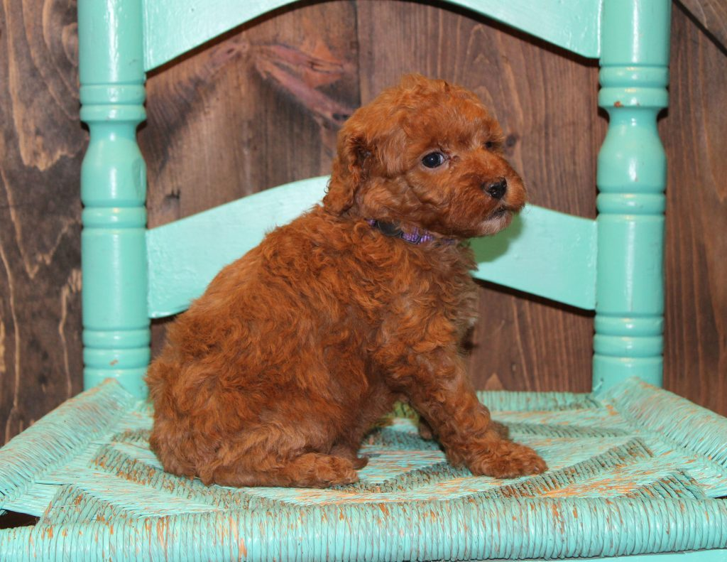 Esmae came from Penny and Rugar's litter of F1B Goldendoodles