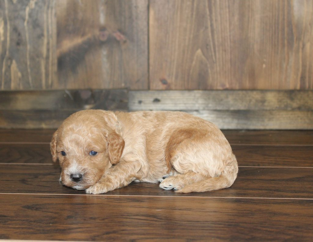 Evan came from Penny and Rugar's litter of F1 Goldendoodles