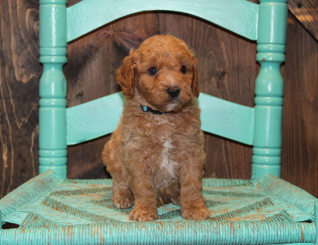 Evan came from Penny and Rugar's litter of F1B Goldendoodles