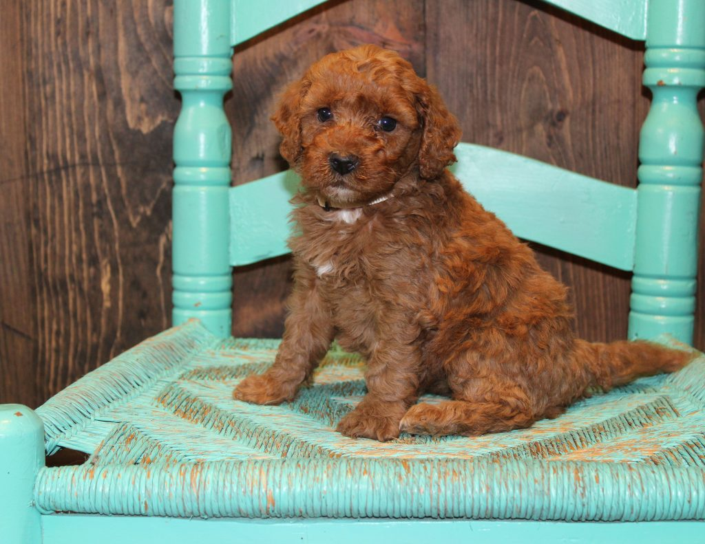 A picture of a Eve, one of Shelby's Goldendoodles's Mini Goldendoodles