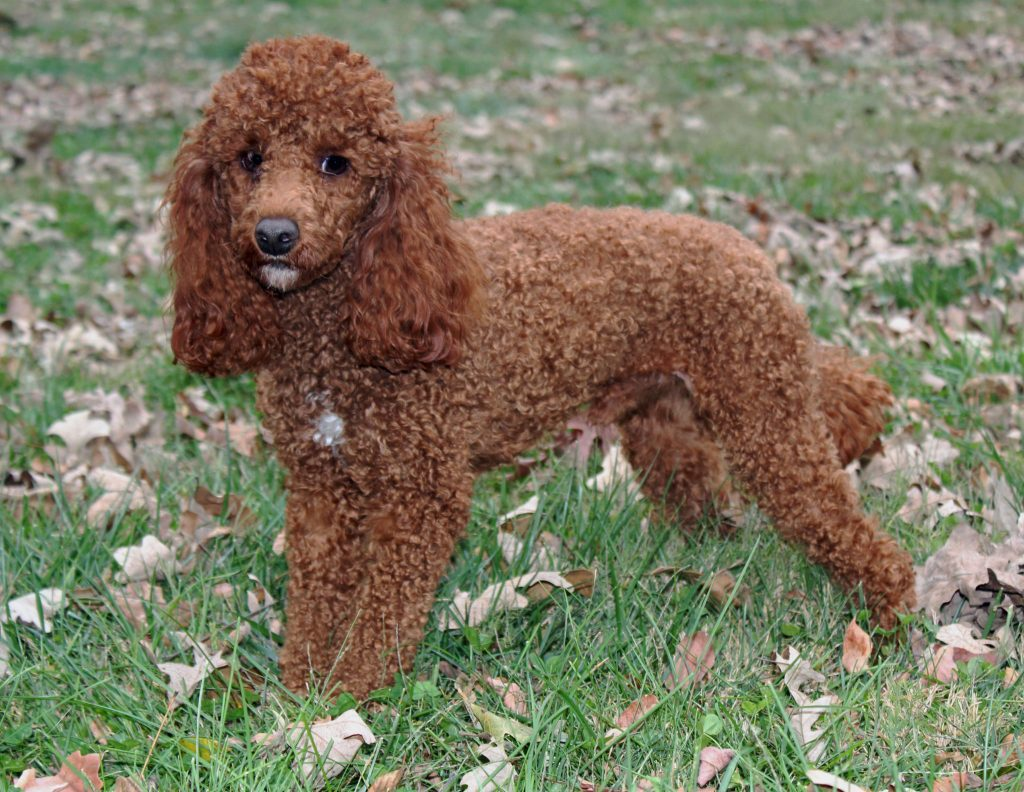 A picture of one of our Poodle father's, Toby.