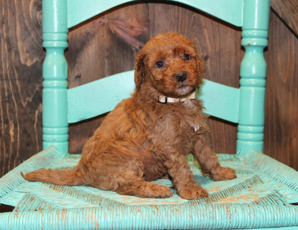 Eve is an F1B Goldendoodle that should have